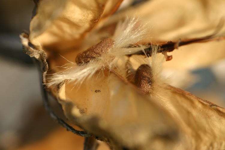 rose of sharon seeds