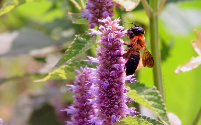hyssop anise large